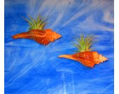 Air Plants, Tillandsia, Air Plant wall decor, air plant holder Hanging air plant