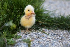 Chicken needle felted doll. Small realistic chick.
